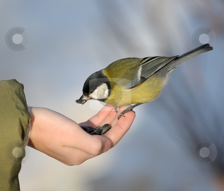 Titmouse on a hand. stock photo, The titmouse takes sunflower seeds from a hand of the boy. by Vladimir Blinov