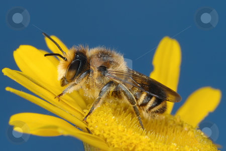 Yellow and blue  stock photo, Yellow bee on yellow flower against the blue sky. by Vladimir Blinov