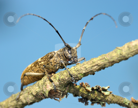 Beetle on a dry branch stock photo, Beetle Cerambycidae on a dry branch, a photo from the bottom point against the   sky. by Vladimir Blinov