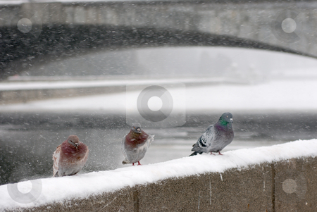 Pigeons winter  stock photo, Pigeons sitting on the parapet of the winter during snowstorms. by Vladimir Blinov