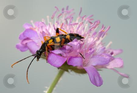 Longhorn beetle on a flower. stock photo, Longhorn beetle Strangalia quadrifasciata on flower Knautia arvensis. by Vladimir Blinov