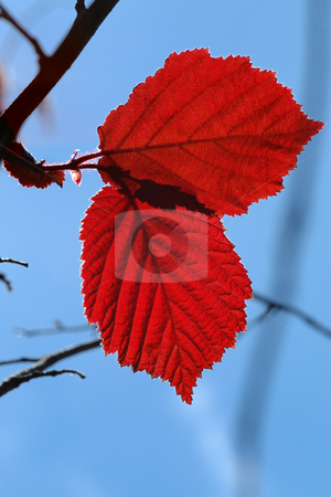 Red leaves stock photo, Red leaves, brightly lit by the sun, against the sky. by Vladimir Blinov