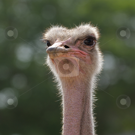 Head ostrich  stock photo, Ostrich at the zoo, head close-ups. by Vladimir Blinov