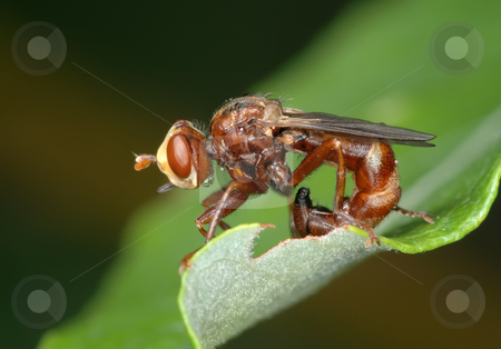 Fly Sicus ferrugineus stock photo, Fly Sicus ferrugineus sitting on the leaves of the plant by Vladimir Blinov