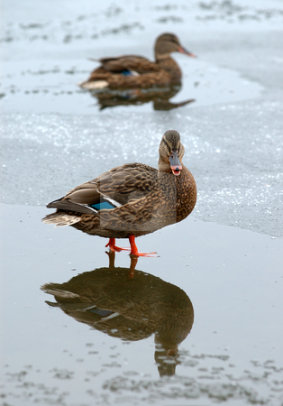 Ducks in the winter.  stock photo, Two ducks on the ice partially frozen lake. by Vladimir Blinov