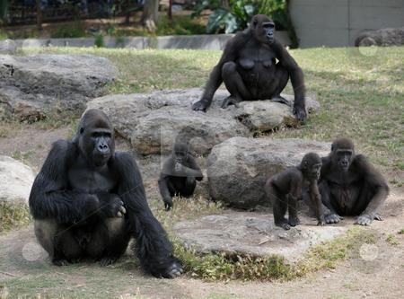 Gorilla stock photo, Gorillas in the zoo, big and important. by Vladimir Blinov
