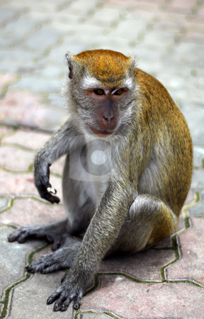 Macaque Monkey stock photo, Macaque monkey at Batu Caves nr Kuala Lumpur malaysia by Robert Ford