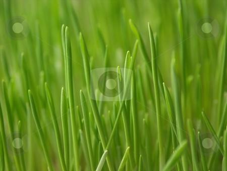 Fresh green grass stock photo, Close-up fresh vivid green grass, good for backgrounds. Shallow depth of field by Oleg Blazhyievskyi