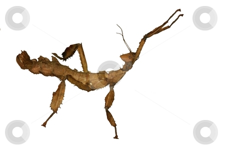 Giant Australian Prickly Stick Insect stock photo, Giant Australian Prickly Stick Insect . isolated on white by Oleg Blazhyievskyi