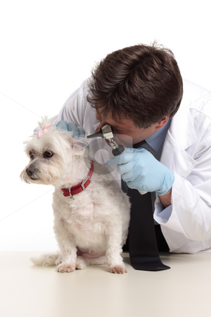 Vet checking dog stock photo, A veterinarian checking the ears of a small white maltese terrier by Leah-Anne Thompson