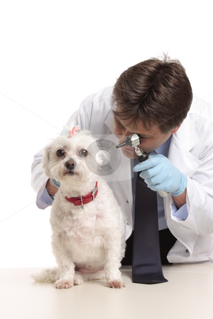 Vet inspecting dogs ears stock photo, A veterinarian inspects a pet dogs ears during a checkup by Leah-Anne Thompson