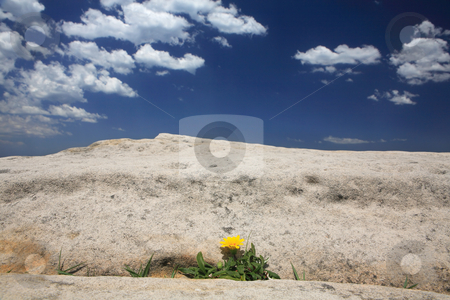 Yellow gazania stock photo, Yellow gazania growing in a rock crevice by Leah-Anne Thompson