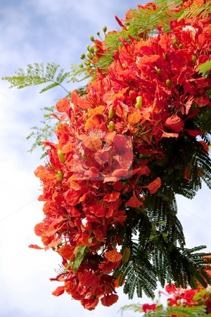 The Royal Poinciana  stock photo, The Royal Poinciana is endemic to Madagascar, where it is found in the Madagascar dry deciduous forests.The flowers are large, with four spreading scarlet or orange-red petals up to 8 cm long, and a fifth upright petal called the standard, which is slightly larger and spotted with yellow and white.The compound leaves have a feathery appearance and are a characteristic light, bright green. They are doubly pinnate: Each leaf is 30-50 cm long and has 20 to 40 pairs of primary leaflets or pinnae on it, and each of these is further divided into 10-20 pairs of secondary leaflets or pinnules. by Gowtum Bachoo