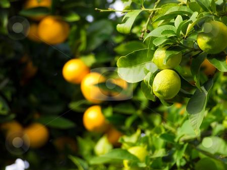 Citrus fruit stock photo, Citrus fruit like a green lemon or ripe orange still on tree... by Sinisa Botas