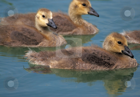 Baby Geese stock photo, Canada goose goslings by Tim Elliott