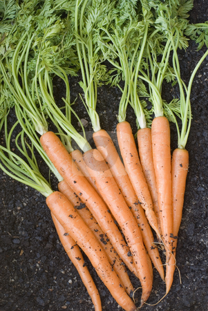 Fresh Carrots stock photo, A bunch of carrots just dug out of the ground by Stephen Gibson