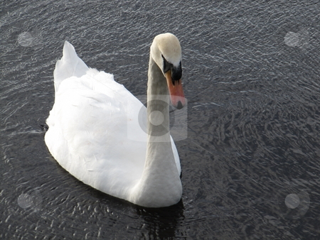 Swan swimming stock photo, A swan swimming on the River Corrib, Galway, Ireland by Michael O'Connell
