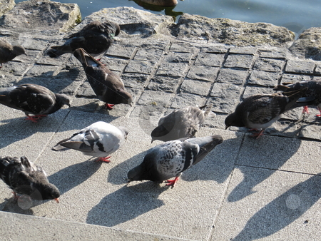 Pigeons feeding stock photo, Pigeons on the ground feeding beside the River Corrib, Galway, Ireland by Michael O'Connell