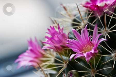 Cactus stock photo, Nature series: macro picture of cactus flower by Gennady Kravetsky