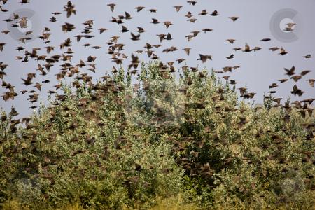 Flock of birds stock photo, Nature series: flock of birds in summer by Gennady Kravetsky