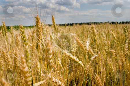 Wheat stock photo, Agriculture theme:  view of ripe wheat field by Gennady Kravetsky