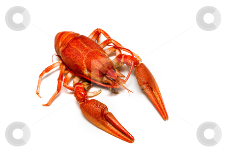 Crawfish stock photo, Food series: boiled crawfish over white background by Gennady Kravetsky
