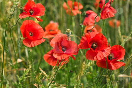 Poppy stock photo, Nature series: macro picture of some  poppy flowers by Gennady Kravetsky