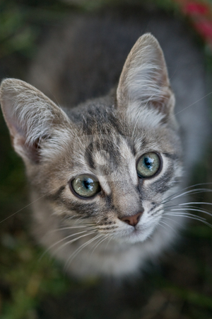 Cat look stock photo, Animal series: gray  cat look, top view by Gennady Kravetsky