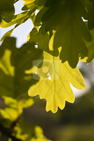 Oak leaf stock photo, Nature series: green oak leaves in spring season by Gennady Kravetsky