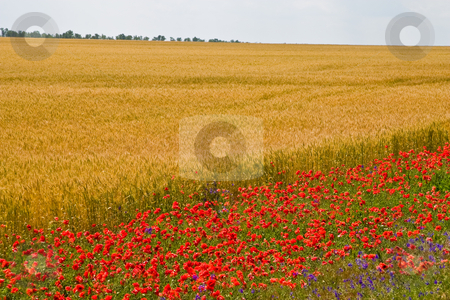 Poppy field stock photo, View series: poppy on the wheat field in summer by Gennady Kravetsky