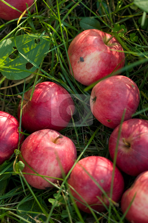 Apples stock photo, Food series: ripe apples on the grass by Gennady Kravetsky