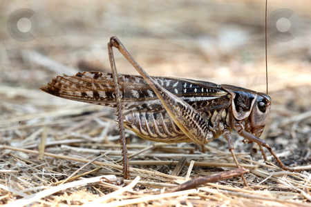 Grasshopper stock photo, Nature series: brown Grasshopper, Locusts on the habitat by Gennady Kravetsky