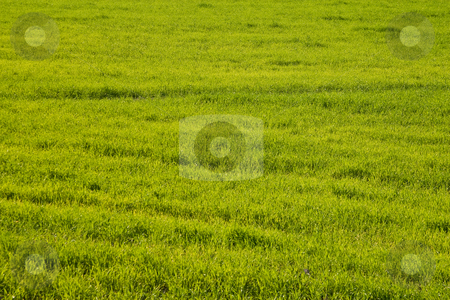 Grass stock photo, Nature series: spring green grass texture backgroud by Gennady Kravetsky