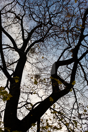 Top of  a tree stock photo, Nature series: autumn top of a tree silhouette by Gennady Kravetsky