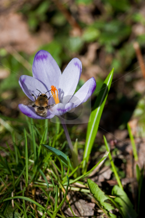 Crocus stock photo, Nature series: liliac crocus in early spring by Gennady Kravetsky