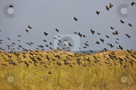 Flock of birds stock photo, Nature series: flock of birds in summer by Gennady Kravetsky