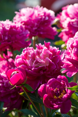 Paeon stock photo, Nature series: pink paeon flowers bush in spring by Gennady Kravetsky