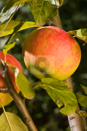Apple stock photo, Food series: tasty ripe and juicy apple by Gennady Kravetsky