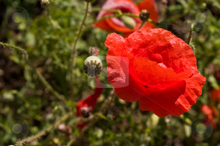 Poppy stock photo, Nature series: one poppy flowers on the dark plant background by Gennady Kravetsky
