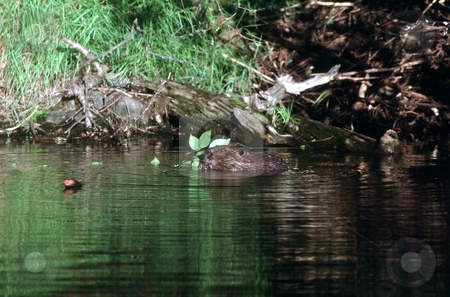 Beaver Snack stock photo, A beaver snacks on a small branch from a Yellow Birch tree. by Trenton Thomas