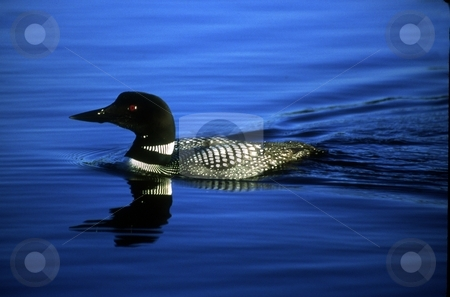 Common Loon stock photo, An endangered Common Loon swims to the right in the frame. by Trenton Thomas