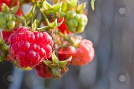 Raspberry stock photo, Food series: fresh ripe red raspberry on the twig by Gennady Kravetsky