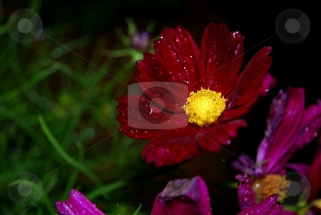 Beautiful red cosmos stock photo, Red cosmos lights up after the rain at dusk by Charles Bacon jr