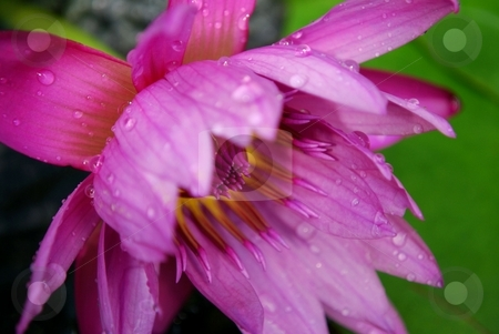 Pink waterlily stock photo, Beautiful pink waterlily shows some of its color by Charles Bacon jr