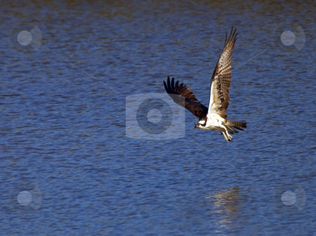 Fishing stock photo, A osprey swoops low over a Florida pond looking for fish by Mike Dawson