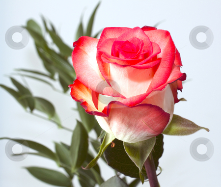 Pink rose stock photo, Closeup of a pink or light red rose by Fabio Alcini