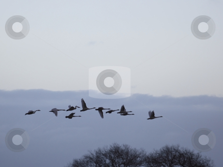 Whooper swans flying at dusk stock photo, A flock of whooper swans flying across a cold winter sky at dusk by Mike Smith