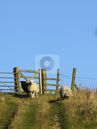 Sheep on a hill stock photo, Three sheep by a gate on a hill in the countryside under a blue sky by Mike Smith