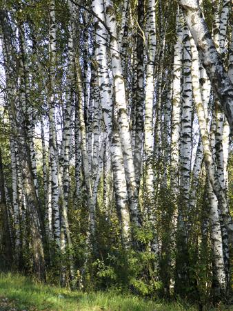 Birchwood stock photo, Birchwood by Andrey Ivanov