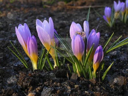 The first snowdrops stock photo, The first snowdrops by Andrey Ivanov